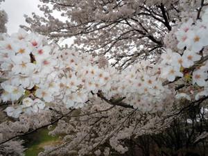 Sakura20152_2